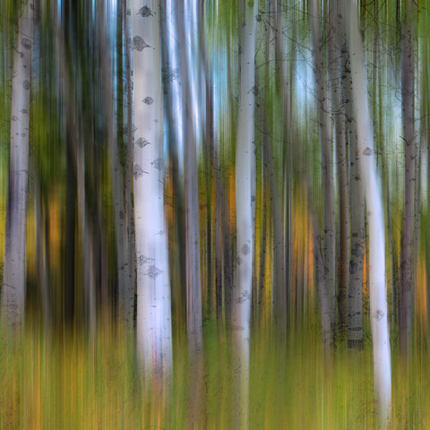 An abstract panning shot of some Aspen trees taken in Kananaskis Country Alberta during Autumn/Fall