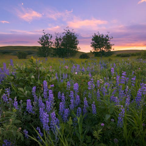 Lupine flowers, leaves, and grass taken in the MD of Ranchlands in Alberta with a couple trees on the horizon