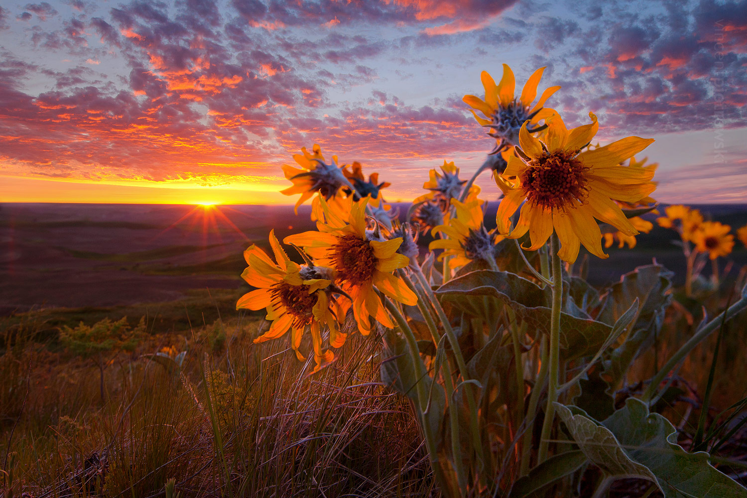 A picture of some wild flowers (Balsamroot) shot off the side of Steptoe Butte in the Palouse area of Washington during an epic sunset