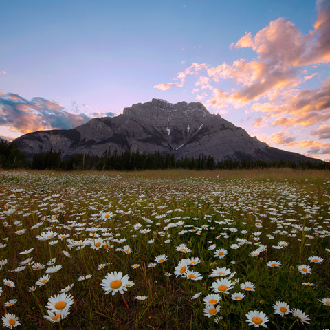 A photo of a meadow filled with summer wild flowers (daisies) in Banff National Park with Cascade Mountain in the background