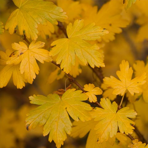 Some very yellow leaves takes in autumn in a slightly abstract composition